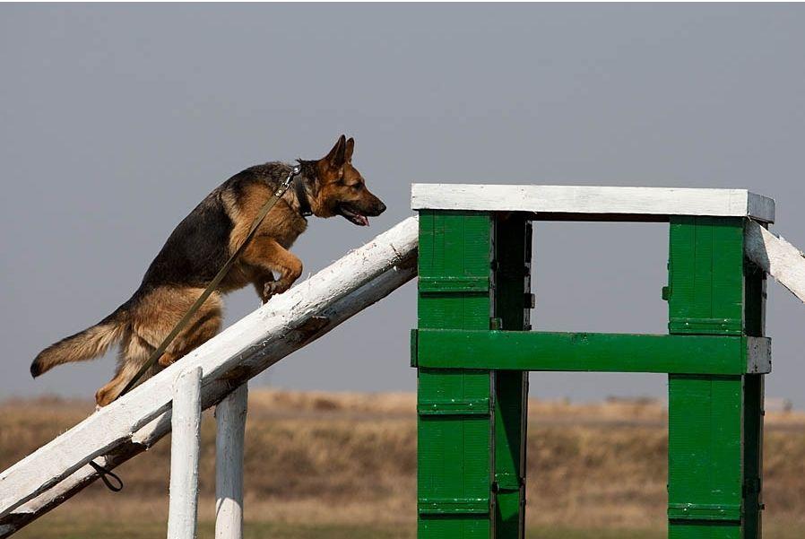客户犬定制服务